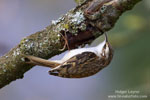 Common Treecreeper