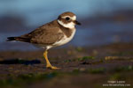 Plover-like waders