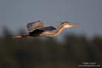 2013 Purple Heron